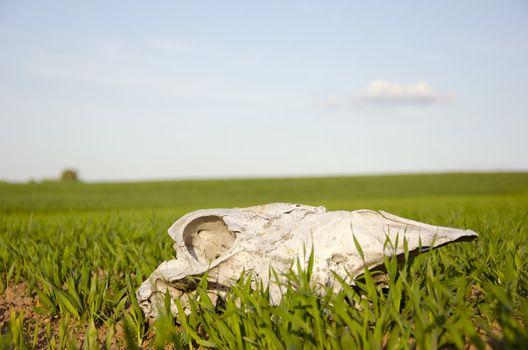 horse cranium on summer crop field