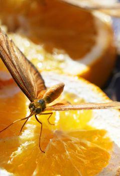 Butterfly feeding on orange