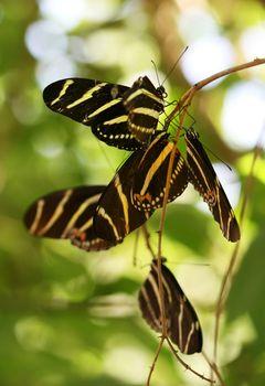 Roosting Butterflies