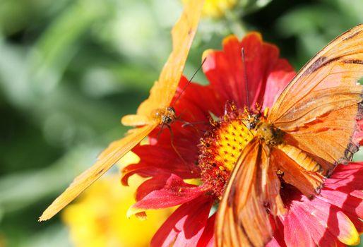 Julia Longwing Butterflies