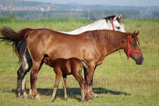 foal feeding with milk from mare