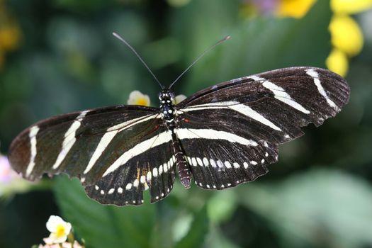 Zebra Longwing Butterfly Close-Up