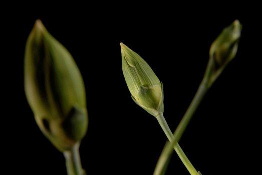 Carnations bud flower close up