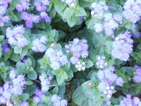 Ageratum is a popular annual that grows in a mounded form and blooms profusely all summer.