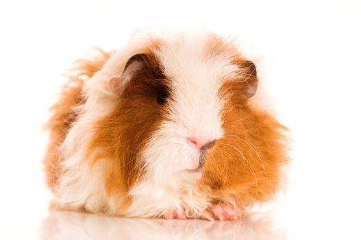 long hair guinea pig