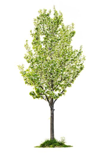 Isolated flowering pear tree