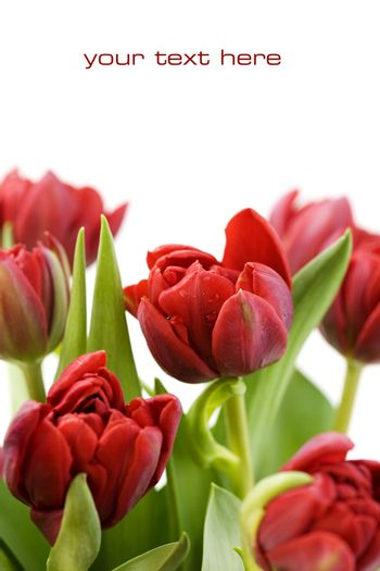 fresh tulips with water droplets on white background (with sample text)