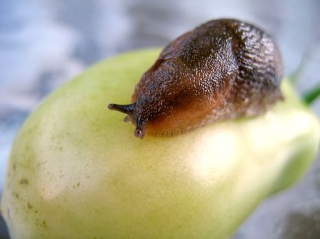 A closeup of a slug on a fresh garden tomato.  These are the little guys that love to eat your vegetables even before you can.  Shallow depth of field.