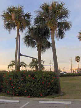 Three tall palms.