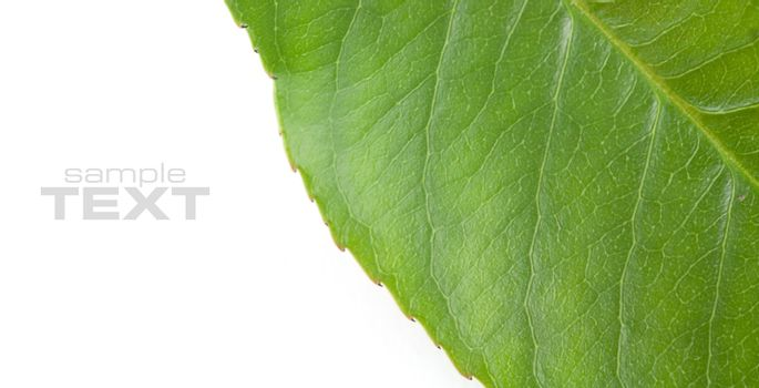 Texture of a green leaf of a plant close up on a white background. With sample text