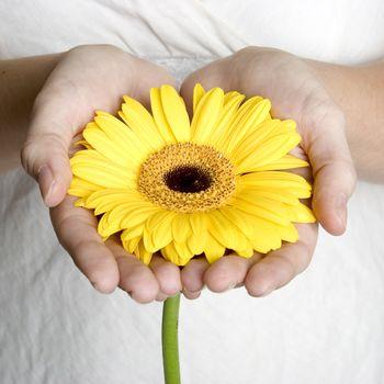Hands holding yellow daisy flower