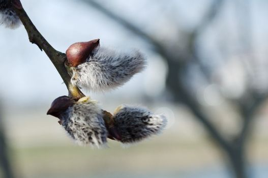 willow buds in spring