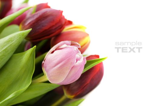 fresh tulips on white background (with sample text)