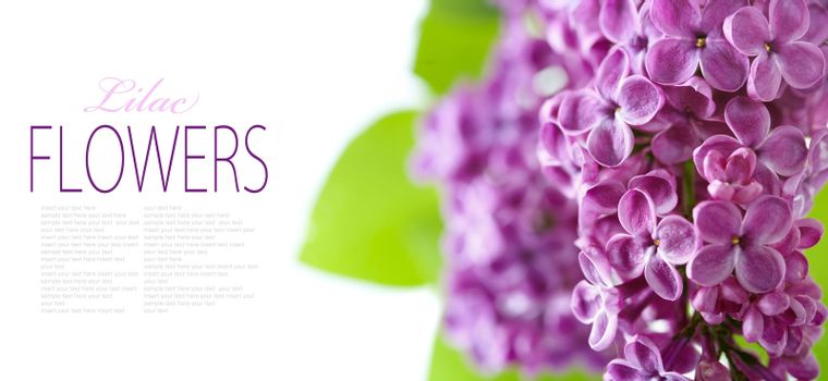 Lilac branch on a white background with sample text