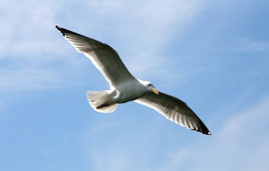 Seagull in the flight with wings wide spread; photographed in a sunny summer day with a clear blue sky and light clouds.