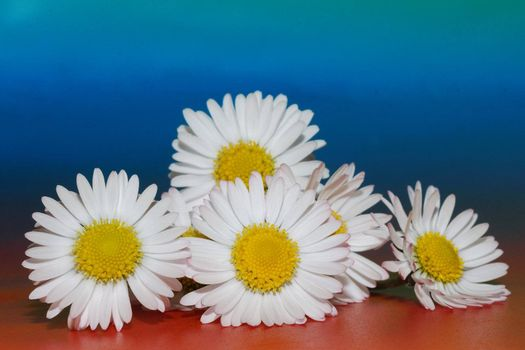 many white daisy flowers on colored background