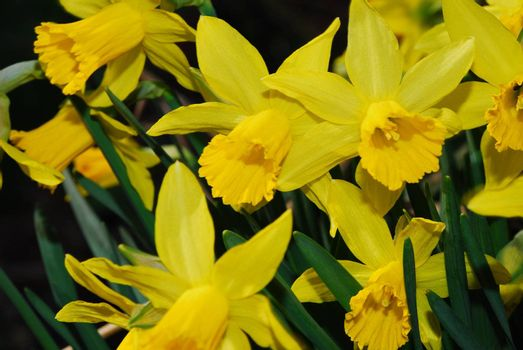 big view of many yellow daffodils in spring