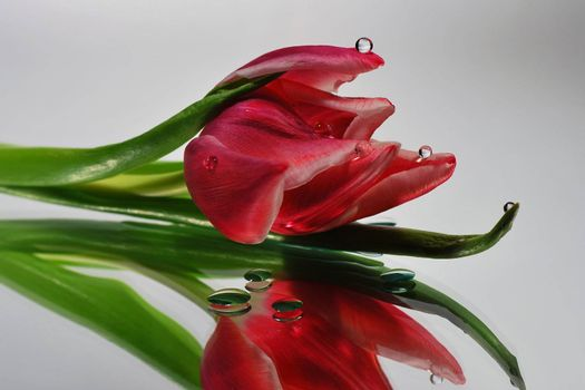 fresh red tulip with a lot of drop in the mirror