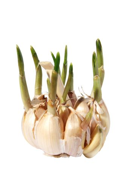 Germinating garlic. (isolated)