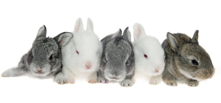 Five little rabbits in a row on the white background