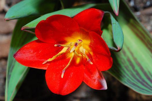 beautiful red tulip fresh wild flowers in spring