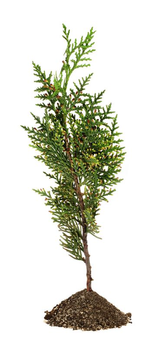 Green arborvitae branch