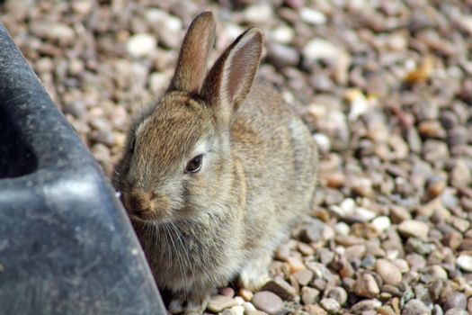 small brown baby rabbit