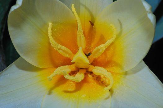 much yellow-orange pollen on a white flower in spring