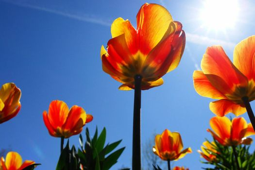 Bright red tulips with blue sky back ground