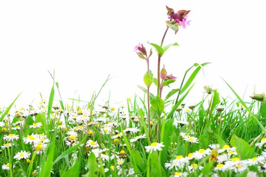 Flowers on a field against an isolated background