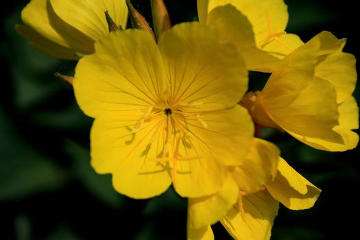 Bright yellow buttercup flowers on green background