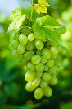 Green grapes close-up from a vineyard