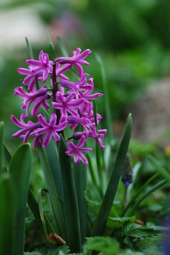 close up from a purple hyacinth in the sping