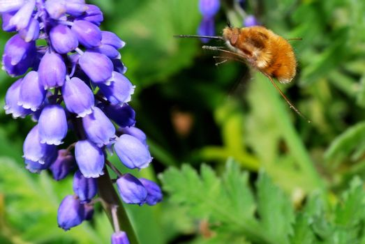 bumblebee flies to bloom in the spring