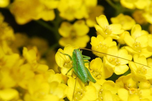 green grasshopper on yellow flower