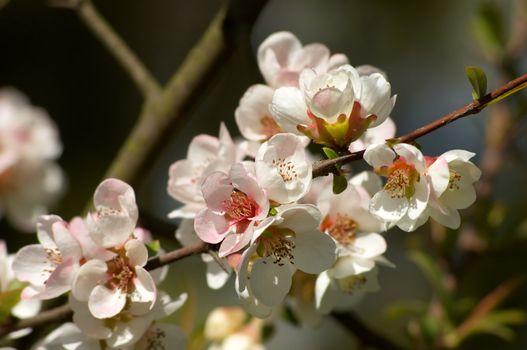 pinkish-white almond blossoms