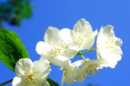 Foto of white jasmine in parents garden