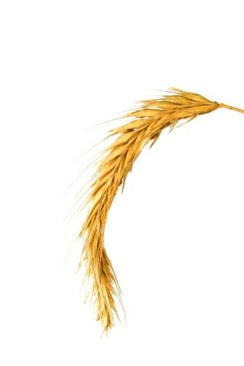 Foto of isolated wheat on white background
