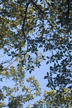 fig tree canopy