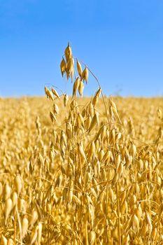 Stem oats field