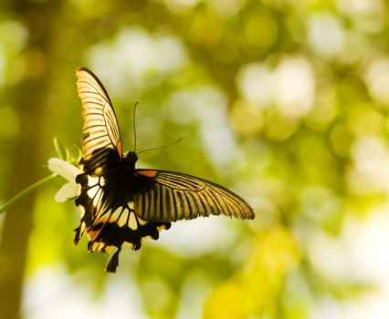 Swallowtail butterfly flying and dancing