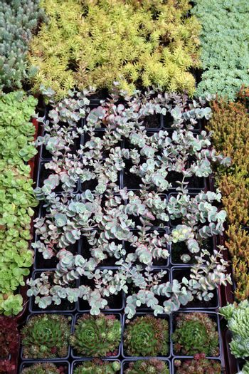 An image of hothouse seedlings in small pots