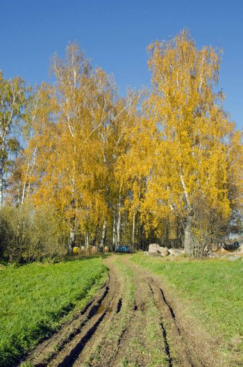 Rural road, autumn birches and several colored hives among them.
