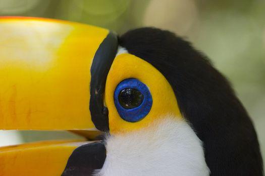 Closeup of a toucan with a blue eye- Ramphastos toco
