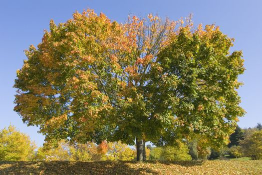 Maple tree with colorful leaves in fall against blue sky
