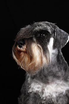 schnauzer portrait