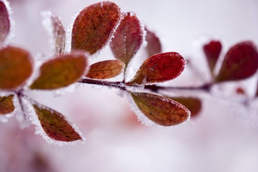 Red tree covered with ice and snow, photographed up close. Macro.