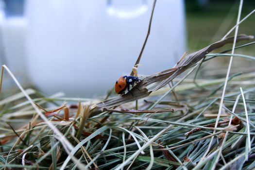 Zoomed foto of ladybug crawling on grass
