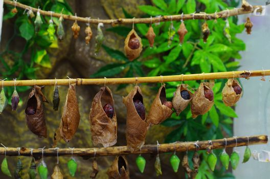 butterflies from cocoons