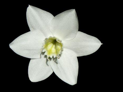 EUCHARIS GRANDIFLORA isolated on black